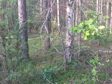 Działka leśna Pańki
